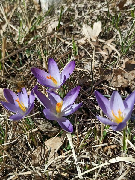 Крокусы фиолетовые